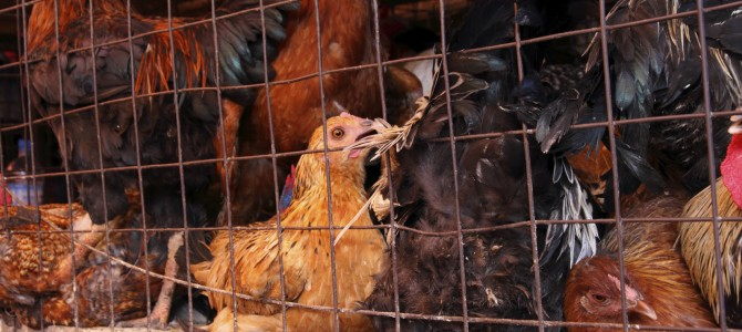 Chicken Is Dirtiest Meat, Says Study